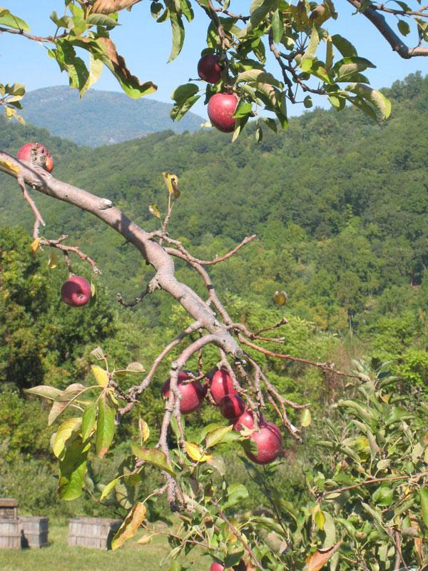 Graves mountain apple festival 4 apple tree